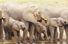 Free Group Of Elephants Drinking Water Stock Images - 6068544