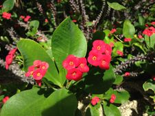 Free Euphorbia Milii Flowers In Miami. Stock Image - 60693351