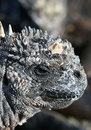 Free Marine Iguana Head Shot Stock Image - 6073951