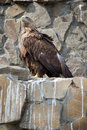 Free Whitetail Sea Eagle Stock Photo - 6074370
