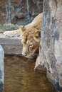 Free Lioness Royalty Free Stock Photos - 6075658