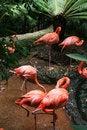 Free Flamingos Royalty Free Stock Photo - 6077355