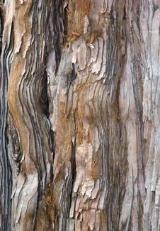 Free Pine Bark Royalty Free Stock Photos - 6070388