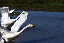 Free Swan Stock Image - 6070971