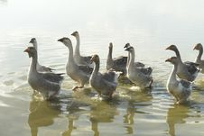 Free Geese Stock Images - 6071444