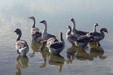 Free Geese Royalty Free Stock Images - 6071479