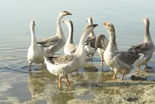 Free Geese Royalty Free Stock Photography - 6071587