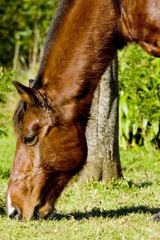 Free Grazing Horse Royalty Free Stock Image - 6071856