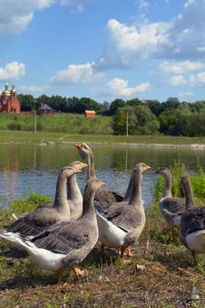 Free Geese Royalty Free Stock Photos - 6071898