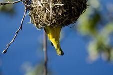 Free Weaver Bird Stock Photo - 6072580