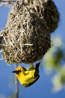 Free Weaver Bird Stock Images - 6072614