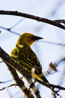 Free Weaver Bird Stock Photos - 6072823