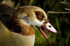Free Egyptian Goose Royalty Free Stock Image - 6072846