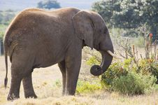 Free Elephant Grazing In The Wild Royalty Free Stock Image - 6072916