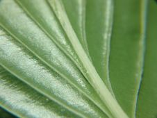 Free Leaf Veins Royalty Free Stock Images - 6072919
