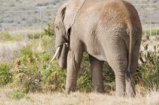 Free Elephant Grazing In The Wild Royalty Free Stock Photo - 6073015