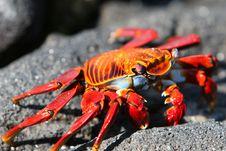 Free Sally Lightfoot Crab Royalty Free Stock Photos - 6073778