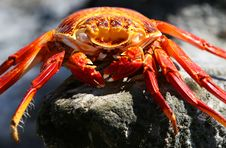 Free Sally Lightfoot Crab - Deceased Royalty Free Stock Photo - 6073785