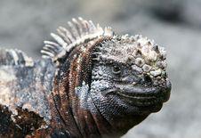 Free Close Up Marine Iguana Royalty Free Stock Photos - 6073798