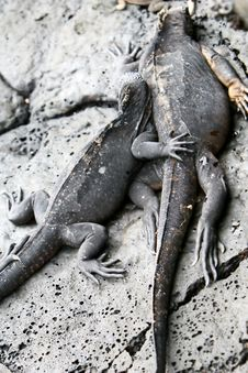 Free Marine Iguanas Royalty Free Stock Images - 6073809
