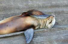 Free Thinking Sea Lion Royalty Free Stock Photo - 6073825