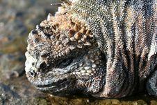 Free Marine Iguana Royalty Free Stock Image - 6073956