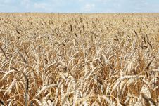 Free Wheaten Field Stock Images - 6073984