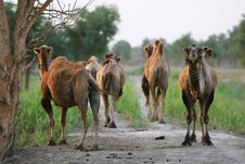 Free Camel Stock Photos - 6074073