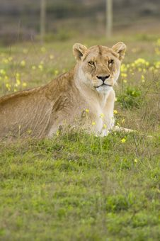Free Lioness Royalty Free Stock Image - 6074166