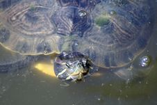 Turtle Coming Up For Air-2 Royalty Free Stock Image