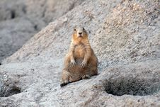 Free Prairie Dog Stock Photo - 6074510