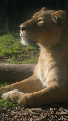 Free Lionness Sunbathing Stock Images - 6075214