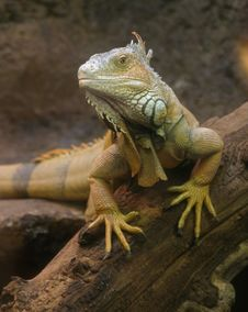 Free Lizard On A Branch Royalty Free Stock Photos - 6075218