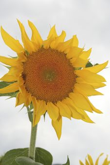 Free Sunflower 026 Stock Photography - 6075292