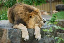 Free Lion Stock Photo - 6076040