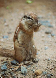 Free Squirrel Stock Photos - 6076093