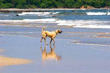 Yellow Dog On Beach Royalty Free Stock Photo