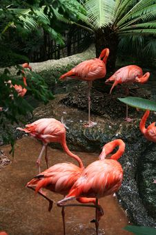 Free Flamingos Royalty Free Stock Photo - 6077355