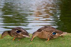 Free Ducks Eating On Grassy Shore Royalty Free Stock Photos - 6077728