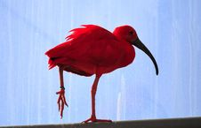 Red Ibis Stock Images
