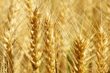 Free Wheat Up Close Stock Images - 6078604