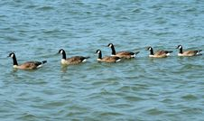 Free Six Canadian Geese In Water Stock Photo - 6079190