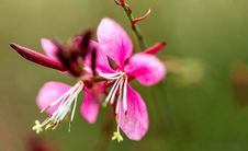 Dreamy Colorful Pink And White Flower And Bud Closeup Stock Images