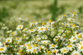 Free Camomile Royalty Free Stock Photos - 6082048