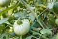 Free Plump Green Tomato Stock Photo - 6086060