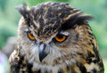 Free Great Horned Owl Stock Photos - 6089353