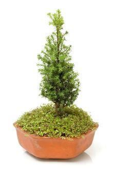 Bonsai Pine Royalty Free Stock Photos