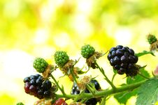 Free Blackberries Royalty Free Stock Images - 6082149