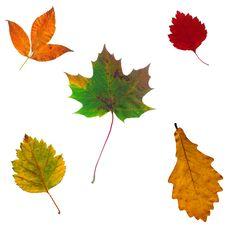 Free Full-size Composite Of Various Autumn Leaves Royalty Free Stock Photography - 6082777