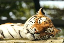 Free Tiger Royalty Free Stock Photography - 6082957